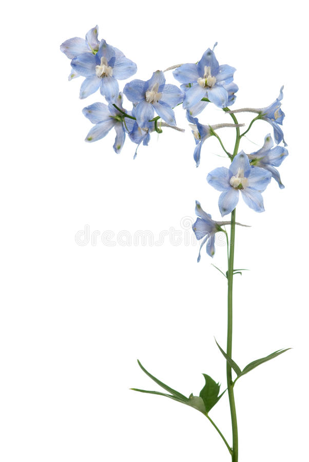 Delphinium photo libre de droits