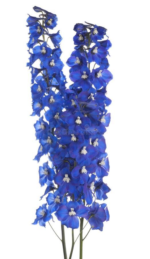 Delphinium стоковое изображение