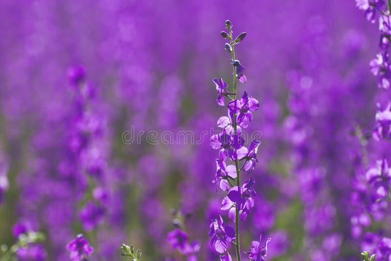 Delphinium ajacis purpur kwiaty zdjęcia stock