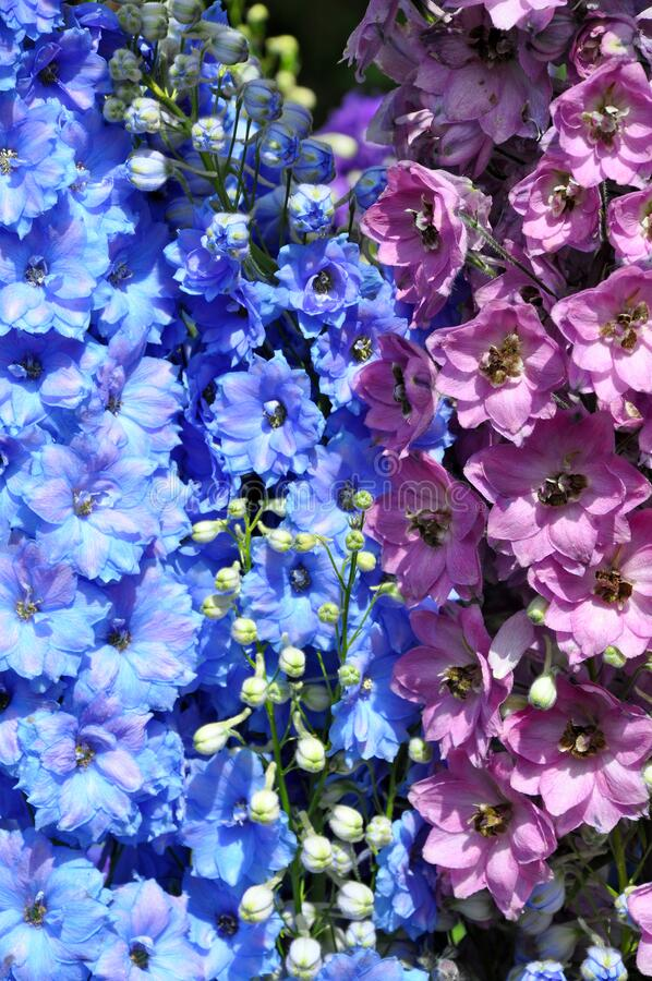Delphinium floral beauty royalty free stock photography