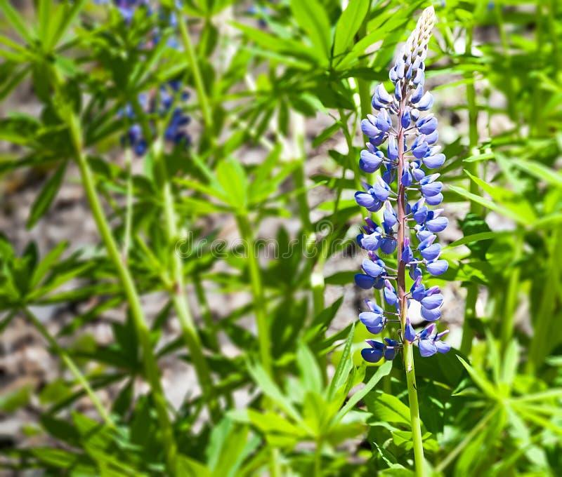 Delphinium, delphinium de bougie, une belle fleur bleue images stock