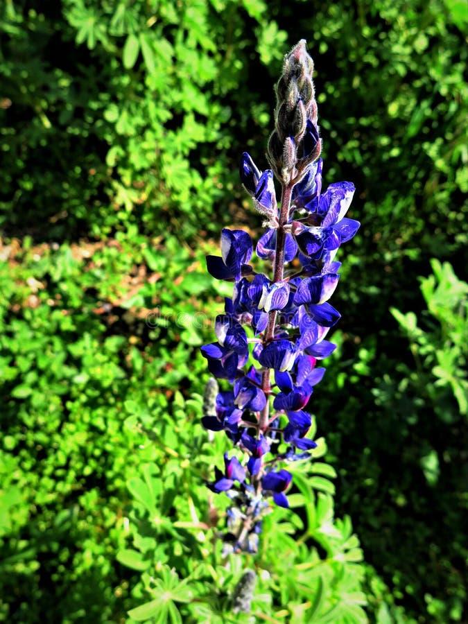 Delphinium `Dark Blue White Bee´ flower blooming. Delphinium flower blooming on the florest in Israel stock photography