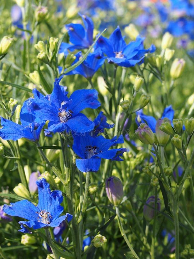 Delphinium grandiflorum royalty free stock photos