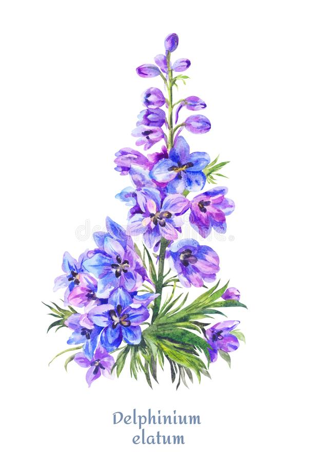 Delphinium illustration, watercolor blue larkspur. Blue watercolor delphinium, bright floral illustration, hand-drawn flowers isolated on white royalty free illustration