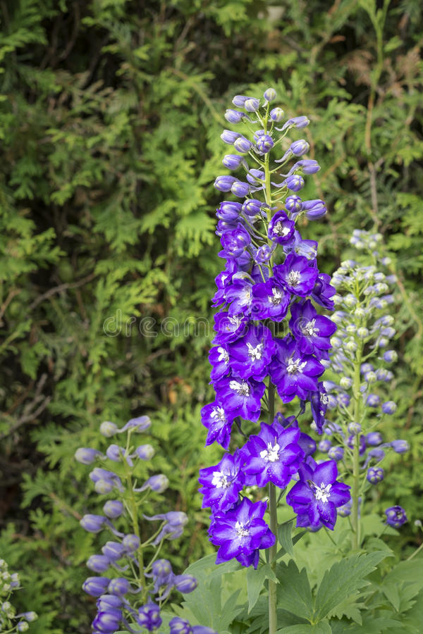Delphinium. Larkspur flowers which are also known as Delphinium Flowers royalty free stock photo