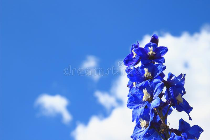 Delphinium odizolowywający na niebieskiego nieba tle obraz stock