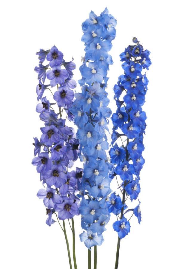 Delphinium. Studio Shot of Blue Colored Delphinium Flowers Isolated on White Background. Large Depth of Field (DOF). Macro stock image