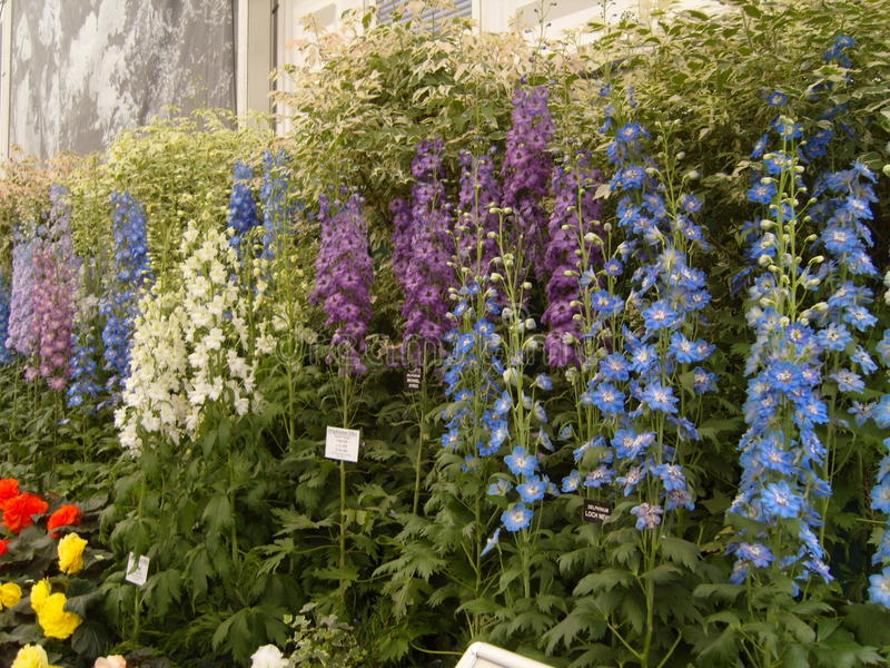 Download Delphiniums At Chelsea Flower Show Stock Image - Image: 36491659