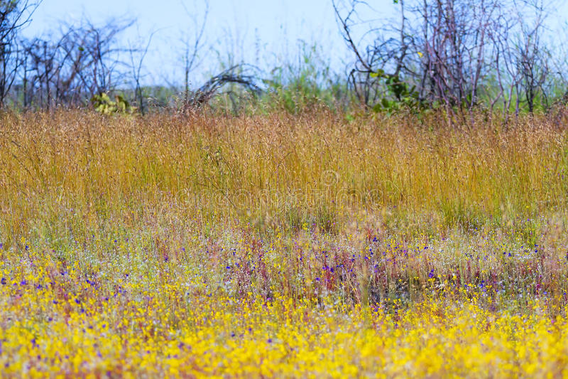 Delphinoides do Utricularia com os ciliaris de Eremochloa do campo fotografia de stock royalty free