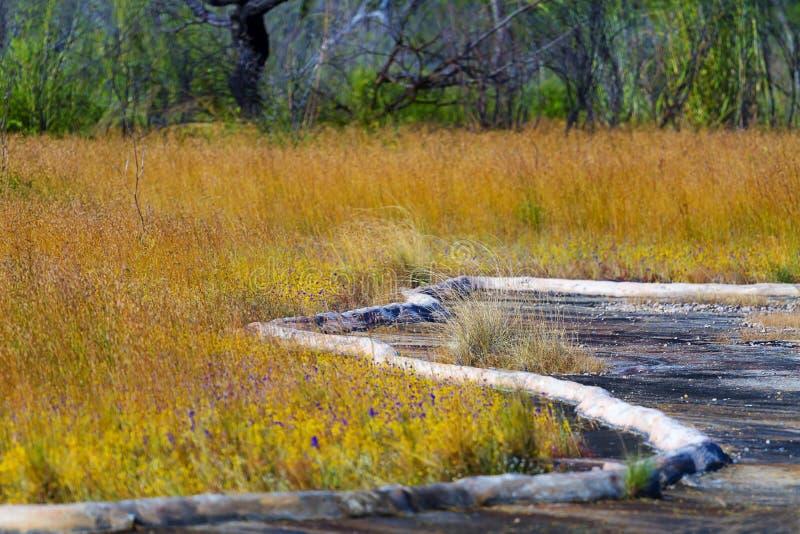 Delphinoides do Utricularia com terra seca no campo fotos de stock
