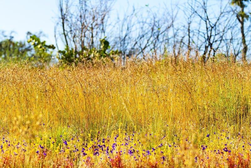 Delphinoides do Utricularia e ciliaris de Eremochloa do campo fotografia de stock royalty free