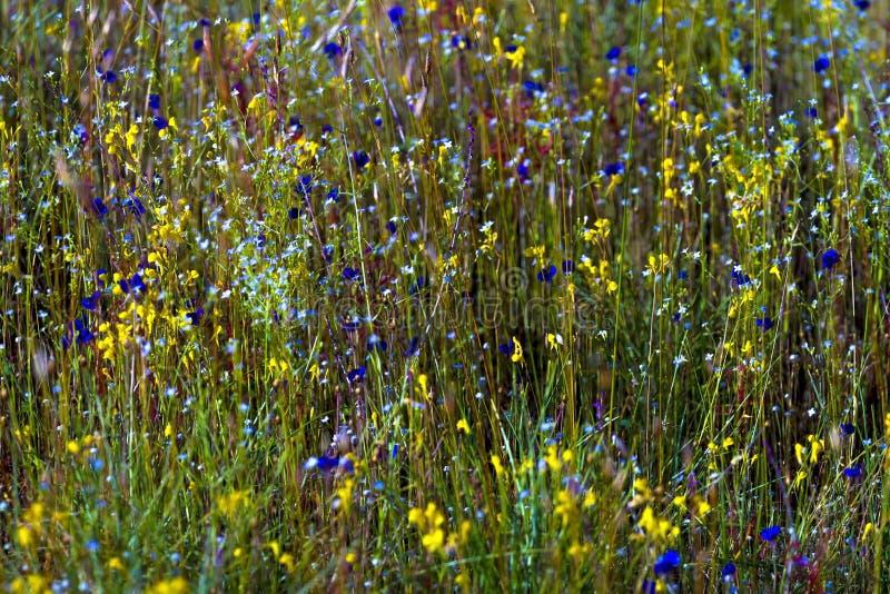 Delphinoides do Utricularia e grama verde do campo foto de stock royalty free