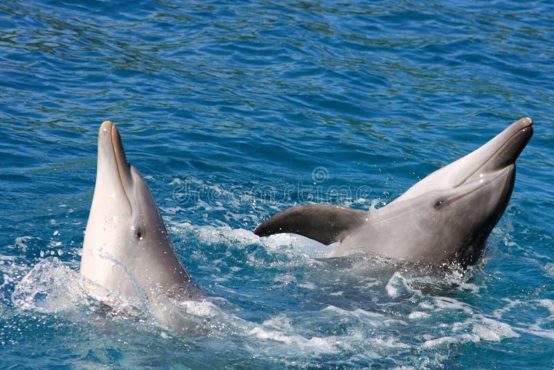 Delphintanzerscheinen stockbilder