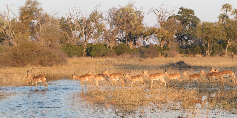 Delta牧群飞羚okavango 库存图片