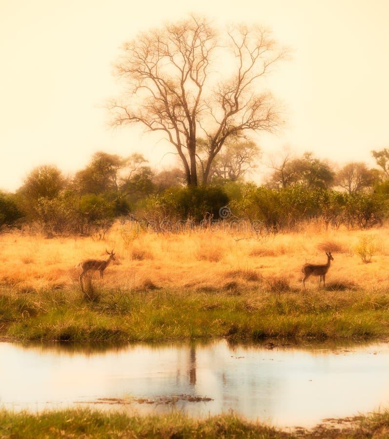 Delta africain avec des impalas images libres de droits