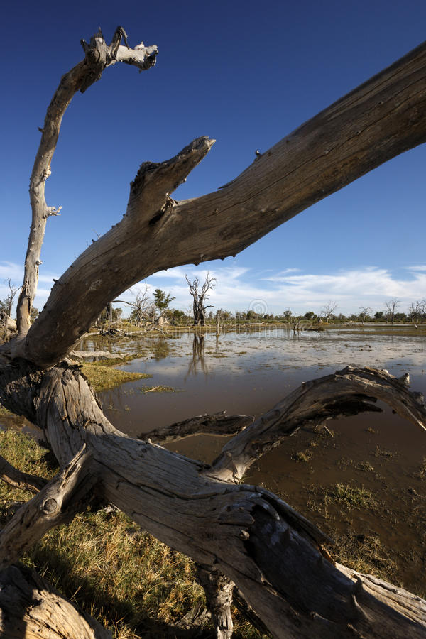 Delta de Okavango - Botswana fotografia de stock royalty free