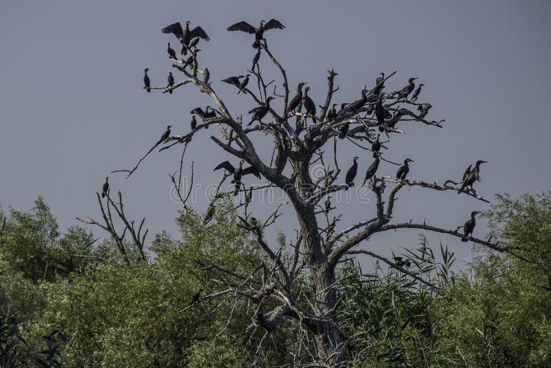 Delta di Danubio, Romania, Europa, albero dei cormorani immagini stock libere da diritti