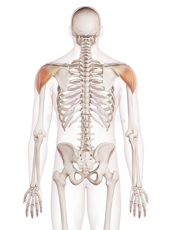 The deltoid stock illustration. Illustration of artwork - 57547950