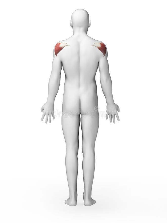 Deltoid Muscle Stock Image