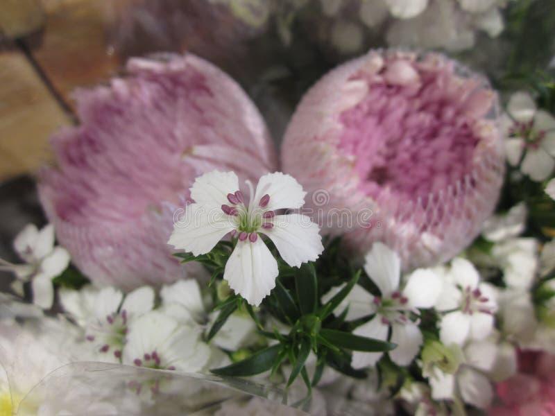 Deltoides del clavel o flor de Guillermo del clavel o del dulce imagen de archivo libre de regalías
