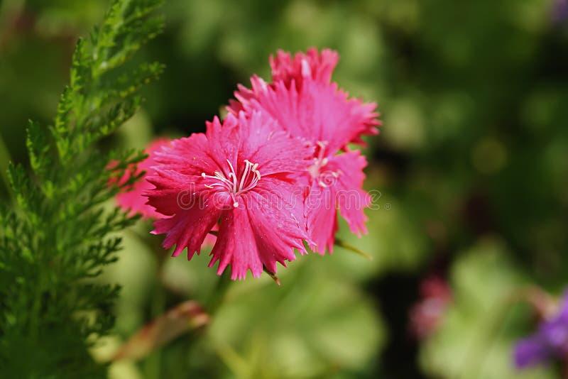 Deltoides del clavel (rosa virginal) fotografía de archivo