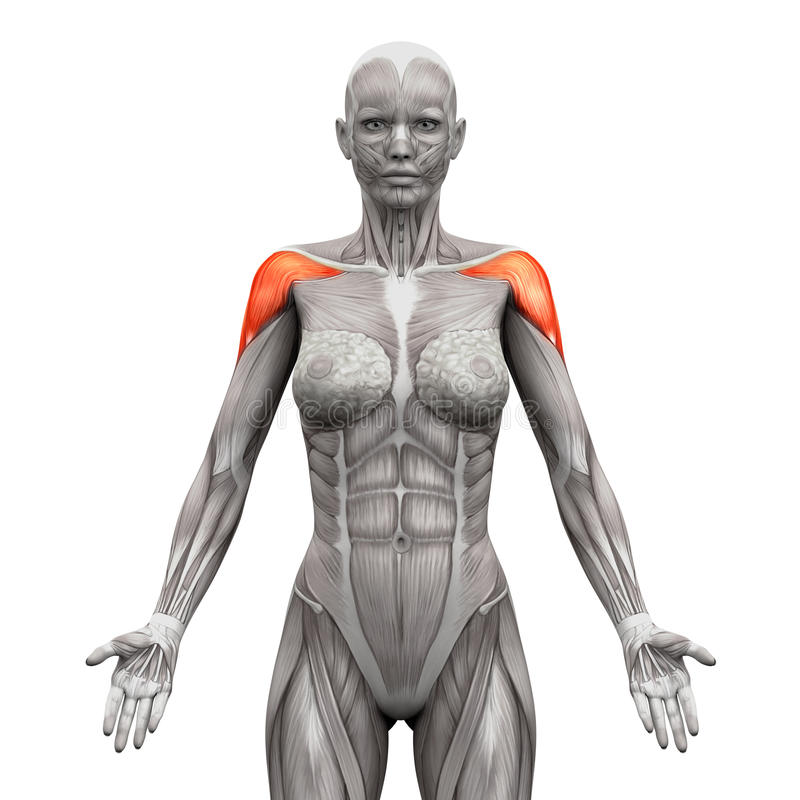Deltoris Muscles Anterior - Anatomy Muscles isolated on white -. 3D illustration vector illustration