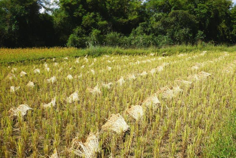 Delvist skördad risfält med diagonala rader av kornkärvar i lantliga Laos arkivbilder