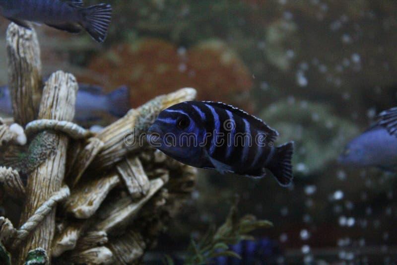 Demasoni Pseudotropheus, Cichlid Малави озера стоковая фотография rf