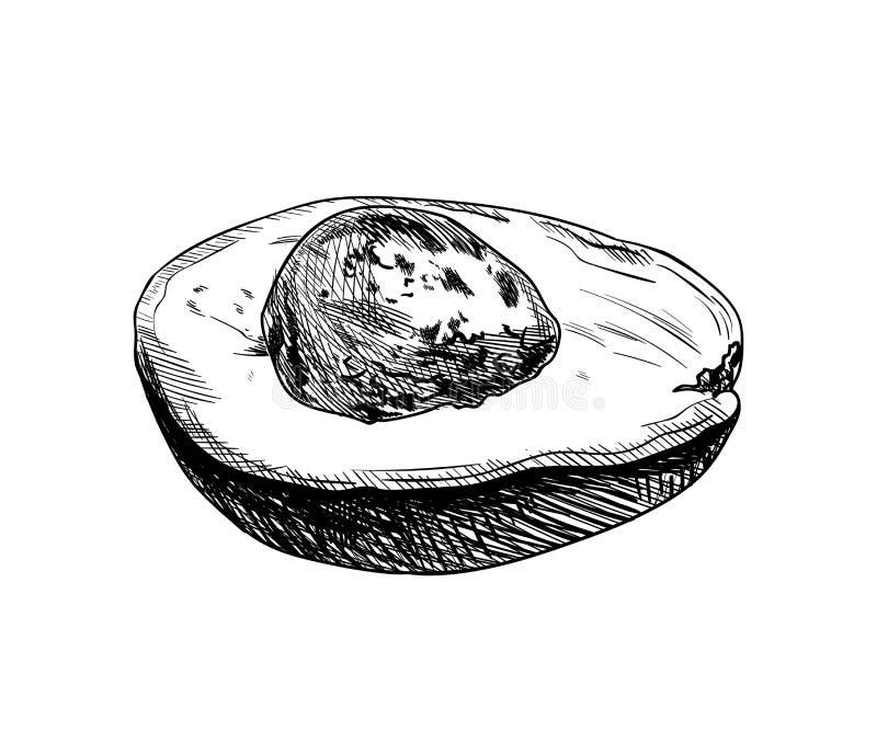 Demi avocat de vecteur avec un os d'isolement, illustration tirée par la main, croquis de fruit illustration de vecteur