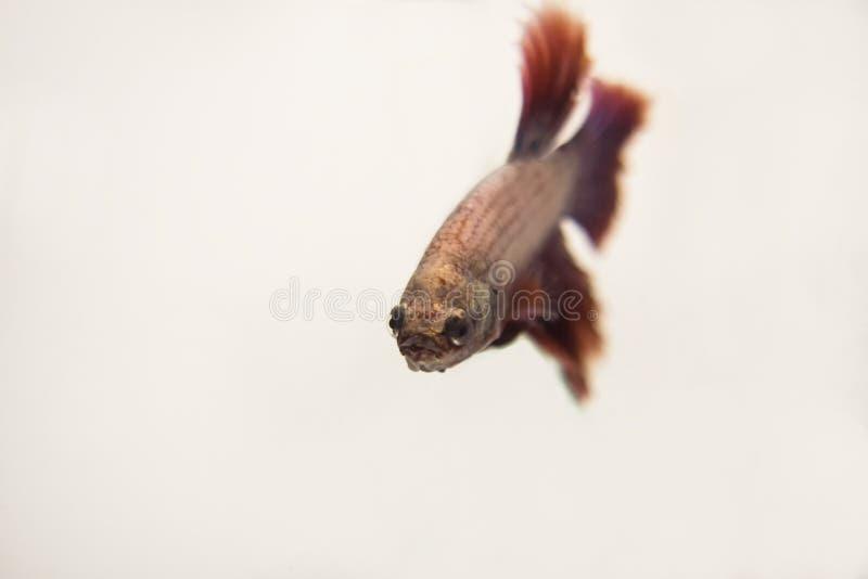 Demi-lune rose rouge de combat siamois Betta Splendens de poissons C'est p photo libre de droits