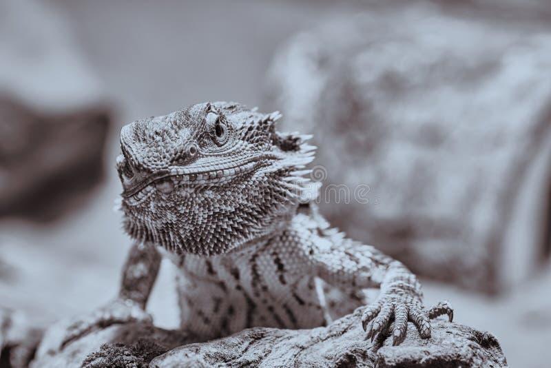 Demi portrait noir et blanc d'un dragon barbu regardant dans la caméra photos libres de droits