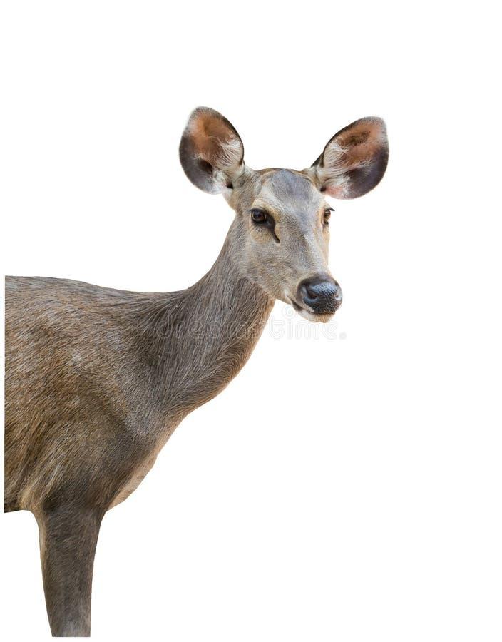 Demi visage de cerfs communs Et beaux et lumineux yeux images libres de droits