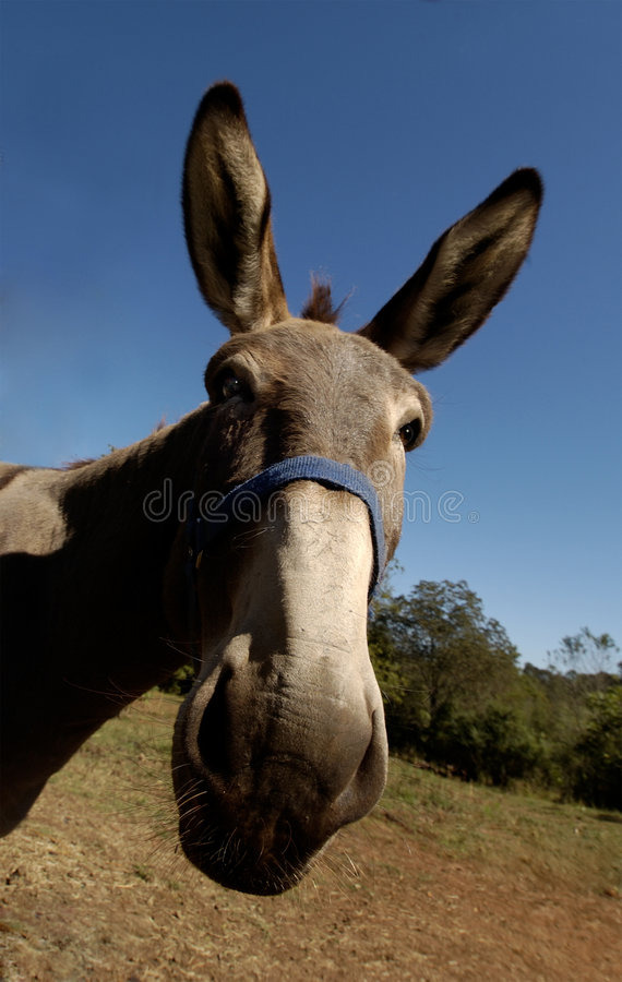 Democrat. Close-up of donkey/mule with eye contact royalty free stock photos