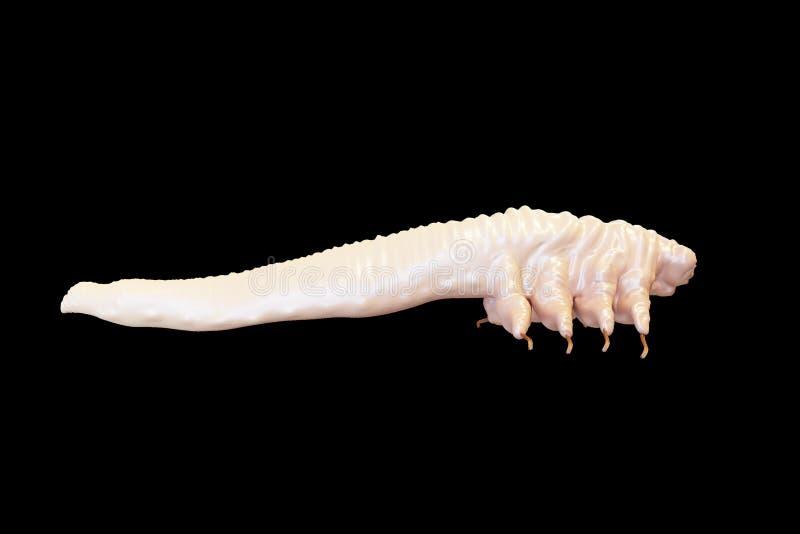 Demodex folliculorum parasite that causes demodicosis illustration 3D rendering stock photography