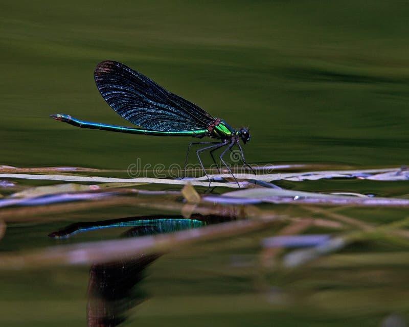 Demoiselle bonito, virgo de Calopteryx imagem de stock royalty free