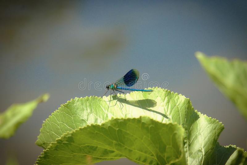 Demoiselle or Calopteryx splendens damselfly male. Male Demoiselle or Calopteryx splendens damselfly sitting on a leaf beside the river Yare at Bawburgh stock photo