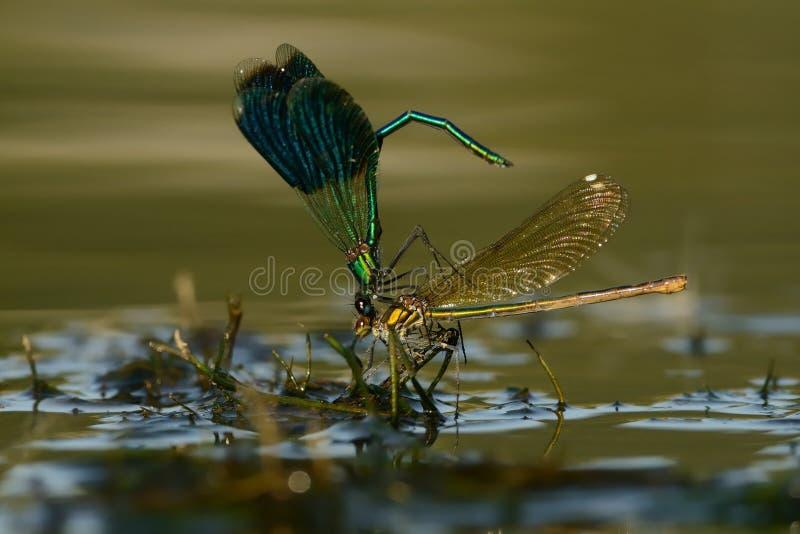 Demoiselle congregado - splendens de Calopteryx imagen de archivo
