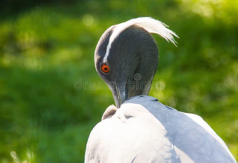 Demoiselle crane is scratching itself by its beak stock image