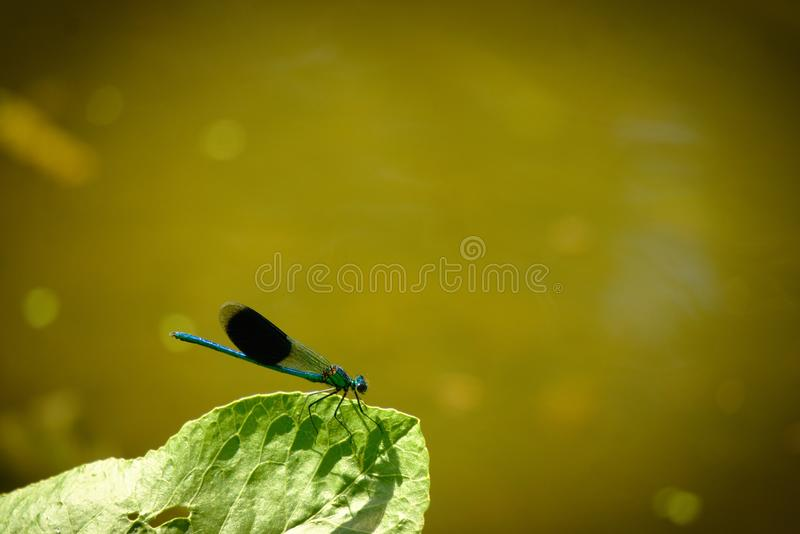 Banded Demoiselle Male damsel fly. Male Demoiselle or Calopteryx splendens damselfly sitting on a leaf beside the river Yare at Bawburgh, Norfolk, Uk stock image