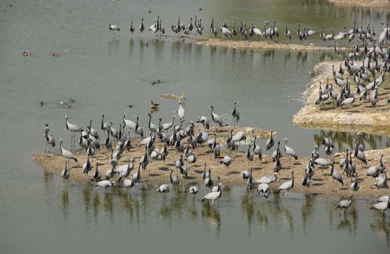 Demoisellekranar flockas tillsammans i Guda Bishnoiyan royaltyfria foton