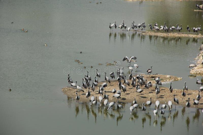 Demoisellekranar flockas tillsammans i Guda Bishnoiyan fotografering för bildbyråer
