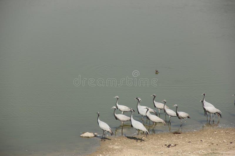 Demoisellekranar flockas tillsammans i Guda Bishnoiyan royaltyfri fotografi
