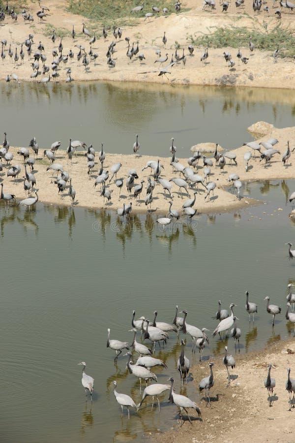 Demoisellekranar flockas tillsammans i Guda Bishnoiyan arkivfoton