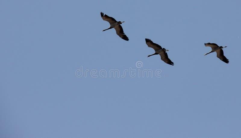Demoisellekranar flockas tillsammans i Khichan arkivfoto