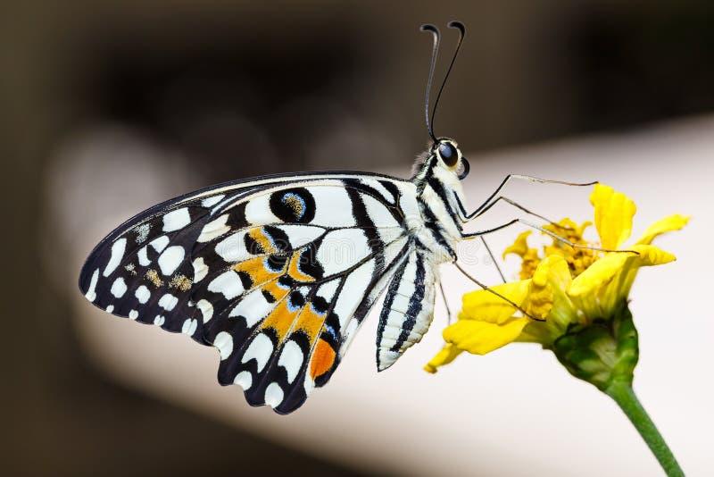 Demoleus di Papilio della farfalla della calce fotografie stock libere da diritti