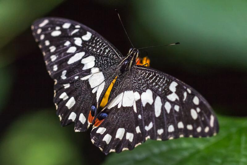 Demoleus exotique de Papilio de papillon image libre de droits