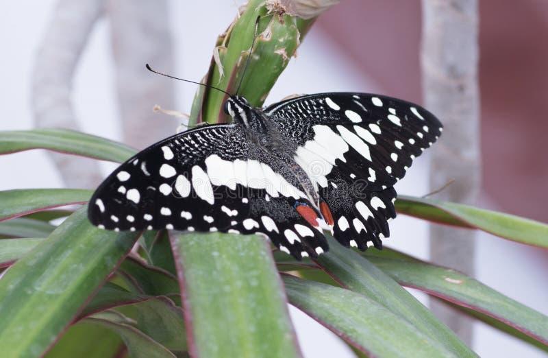 Demoleus tropical de Papilio de papillon photographie stock