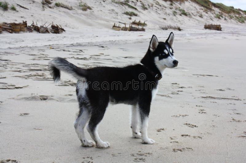 Demone del cucciolo del husky immagine stock