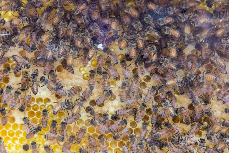Demonstration of Honey Bees royalty free stock images