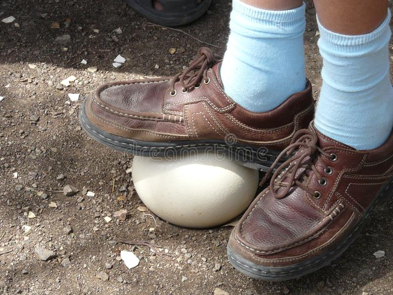 Demonstration of ostrich egg hardness. The foot of a boy stepping on an ostrich egg to demonstrate hardness of the shell . Ostrich Farm on the island of Curacao stock images